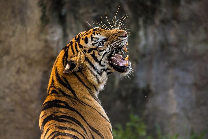 Fauchender Tiger