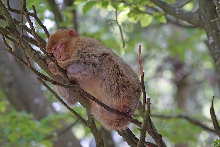 Affe schläft auf Baum