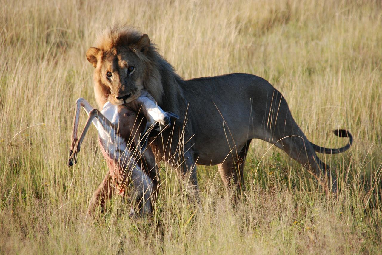 Löwe hat Gazelle im Maul