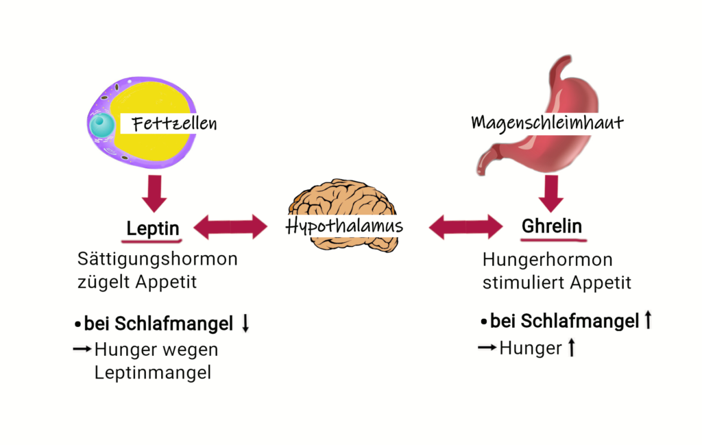 Schema zur Wirkung von Leptin und Ghrelin