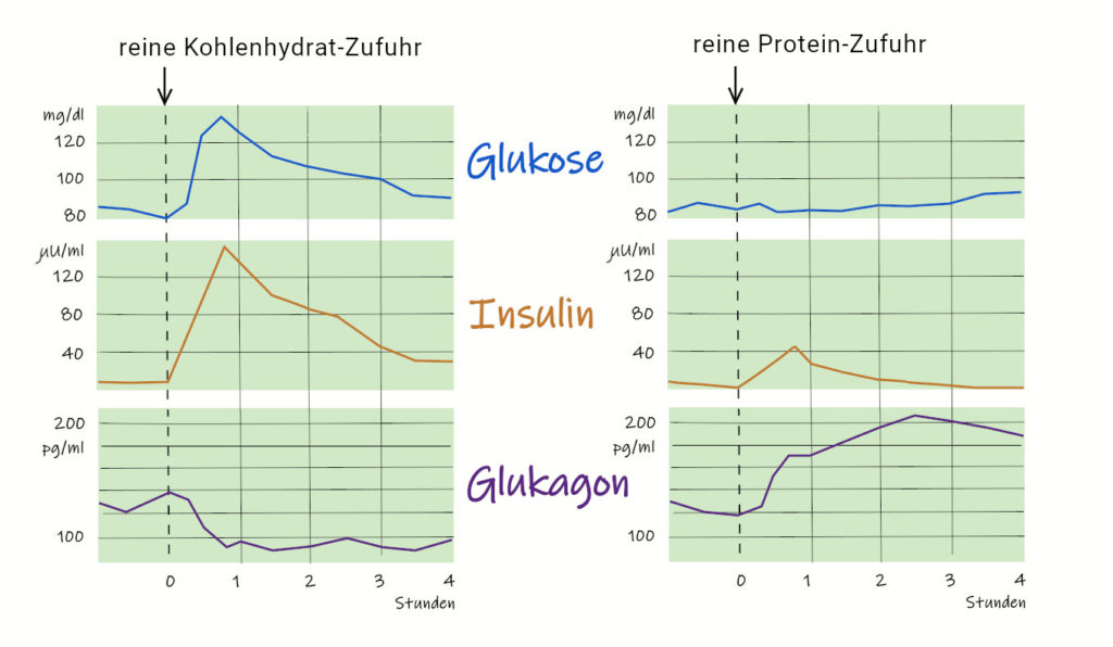 Kurvenverlauf der Insulin- und Glukagonausschüttung nach Nahrungsaufnahme